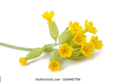 Primrose flowers  isolated on white background. Primula veris.