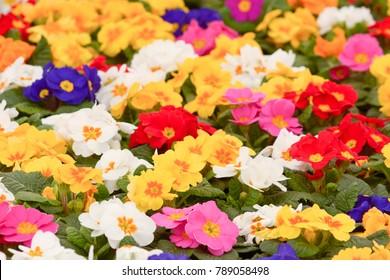 Primrose Flowers (primula vulgaris)