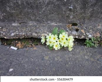 Primrose grown in concrete
