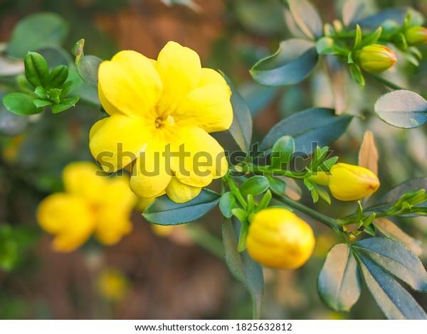Primrose Jasmine or Jasminum mesnyi, bright yellow flowers, close up. Japanese or Chinese jasmines is woody vine, deciduous shrub, evergreen, flowering plant in the olive family, Oleaceae, Jasmineae.