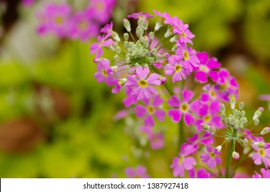Primrose (Primula sieboldi, Primula, Sakurasou)  - Shutterstock ID 1387927418