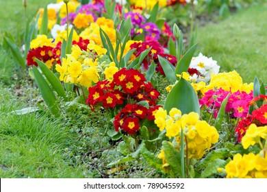 Primrose (primula vulgaris) flowers in flower bed