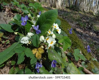 Primrose and violets, first spring flowers in sunny forest