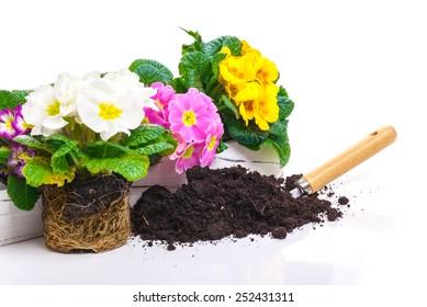 Primroses, potting soil, spring