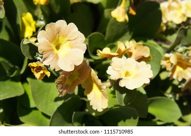 Primula auricula or mountain cowslip or bear's ear yellow orange flowers with green