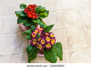 Primula Auricular Flowers. Isolated. .Two colourful flower pots on a beige  tile surface. Stock Image.