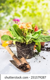 Primula flowers with soil and root on garden table with scoop over sunny nature background