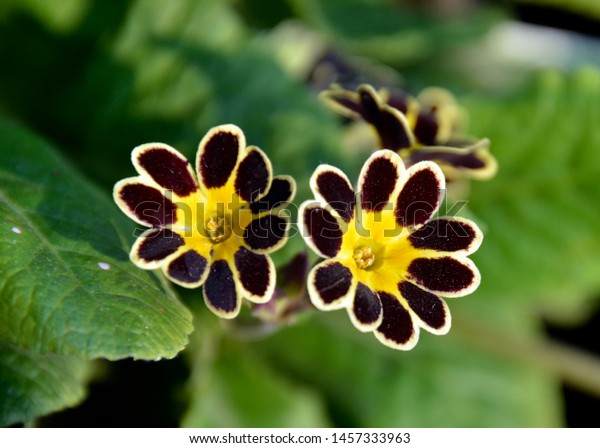 Primula Gold-Laced Group (Polyanthus Primrose)