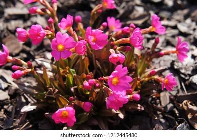 Primula rosea or  himalayan meadow primrose pink flowers