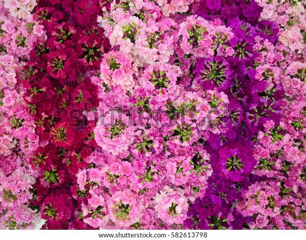 Primula's flower