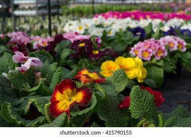Primulas in a greenhouse