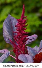 Princes Feather, Amaranth 'Velvet Curtains' (Amaranthus cruentus), dark red inflorescence and leaves