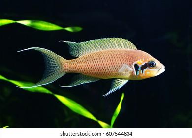 Princess of Burundi in aquarium