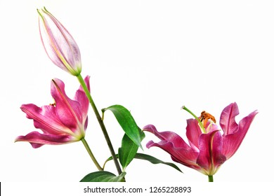 Princess Casablanca Flower
