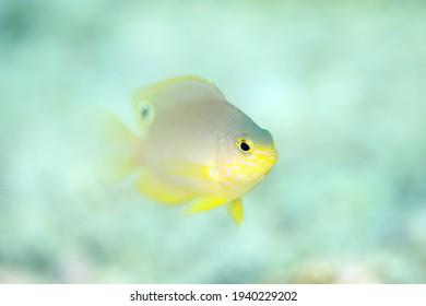 Princess Damsel (Pomacentrus vaiuli), aka Ocellate Damsel. Triton Bay, West Papua, Indonesia - Shutterstock ID 1940229202