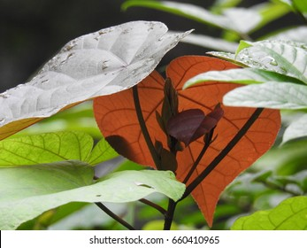 Princess tree leaves, Indian tulip tree leafs, green and coffee color leafs, eastern Redbud, Pacific rosewood, Portia tree