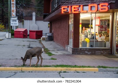 PRINCETON, BRITISH COLUMBIA - OCTOBER 12, 2015: Fawn grazing on a sidewalk of a small town in Canada. Deer with antlers is looking for food in the city and is part of the urban wildlife ecosystem.