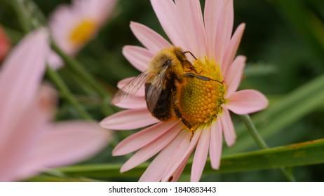Princeton, NJ, USA, Oct. 24, 2020; Bumblebee pollinator on a pink daisy mum chrysanthemum