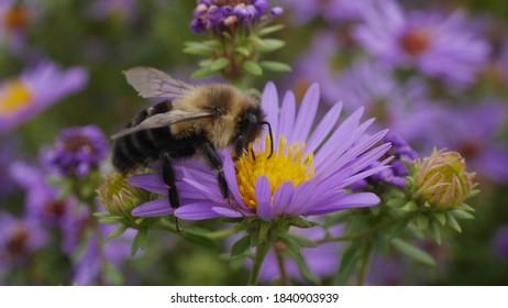 Princeton, NJ, USA, Oct. 24, 2020; Bumblebee pollinator on a purple and yellow aster flower