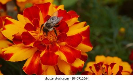 Princeton, NJ, USA, Oct. 24, 2020; Bumblebee pollinator on a red and orange marigold flower