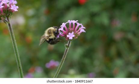 Princeton, NJ, USA, Oct. 24, 2020; Bumblebee pollinator on a purple Verbena flower