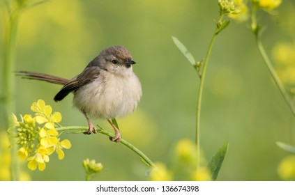 Prinia perched on a mustard plant branch