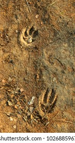 prints of traces of a large dog on the ground next to fallen dry leaves and needles of larch
