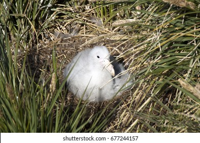 Prion Island South Georgia Islands, wandering albatross fledgling on nest
