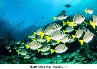 Prionurus punctatus) Yellowtail Surgeonfish. reefs of the Sea of Cortez, Pacific ocean. Cabo Pulmo, Baja California Sur, Mexico.