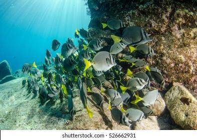 (Prionurus punctatus) Yellowtail Surgeonfish. reefs of the Sea of Cortez, Pacific ocean. Cabo Pulmo, Baja California Sur, Mexico. Cousteau named it The world's aquarium.