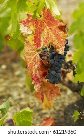 Priorat Grenache in September
