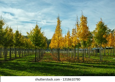 Privat garden, parks tree nursery in Netherlands, specialise in medium to very large sized trees, plantation of grey alder trees in rows