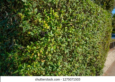 Privet (Ligustrum) as hedge plant with black berries