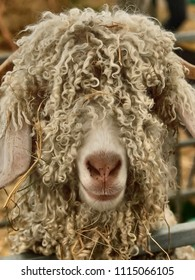 A prizewinning angora goat with long curly wool at the Royal Three Counties Show in Malvern, Worcestershire, Uk