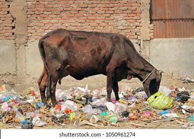 The problem of garbage in India. A cow grazes in a pile of garbage. India, Mathura, March 20, 2018.