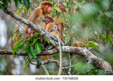 Proboscis monkey baby sucks its mother's breast milk. Female proboscis monkey (Nasalis larvatus)  with a cub on the tree in a natural habitat. Long-nosed monkey. Rainforest of Island Borneo. Indonesia