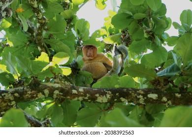 Proboscis monkey in Bako national park, Kuching, Sarawak, Malaysia - Shutterstock ID 2038392563