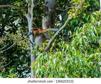 A proboscis monkey clings to the crook of a tree in Tanjung Puting National Park, Kumai, Indonesia