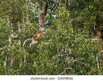 Proboscis Monkey inTanjung Puting National Park in Indonisia