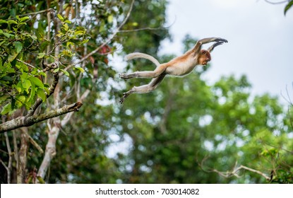 Proboscis Monkey jumping on a tree  in the wild green rainforest on Borneo Island. The proboscis monkey (Nasalis larvatus) or long-nosed monkey, known as the bekantan in Indonesia