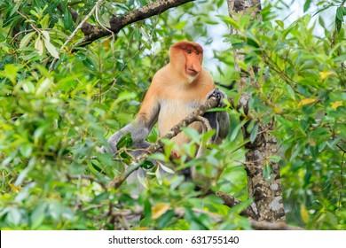 proboscis monkey or nasalis larvatus