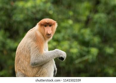 Proboscis Monkey (Nasalis larvatus) - Brown Eyes