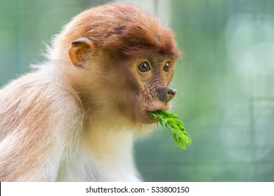 The proboscis monkey (Nasalis larvatus) or long-nosed monkey is a reddish-brown arboreal Old World monkey with an unusually large nose. It is endemic to the southeast Asian island of Borneo.