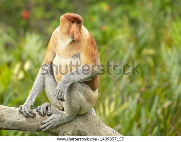 Proboscis monkey (Nasalis larvatus) or long-nosed monkey, known as the bekantan in Indonesia, is a reddish-brown arboreal Old World monkey with an unusually large nose. It is endemic to Borneo