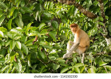 Proboscis Monkey (Nasalis larvatus) - Resting on a branch