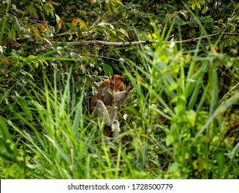 Proboscis Monkey (Nasalis larvatus) sitting and feeding in a tree and jumping and playing