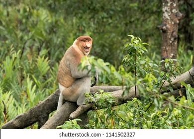 Proboscis Monkey (Nasalis larvatus) - That's funny