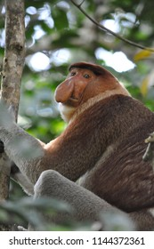 Proboscis monkey nose ape called dutchman