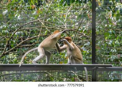 proboscis monkey its scientific name nasalis larvatus or long-nosed monkey