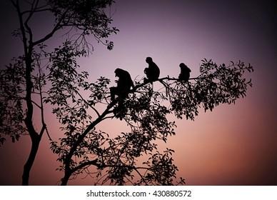 Proboscis Monkey silhouette at sunset to the island of Borneo